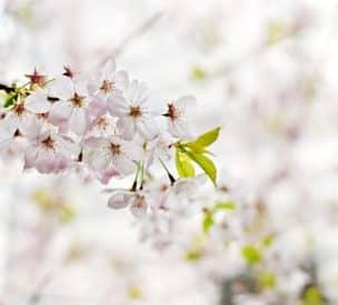 Branche de fleurs de cerisier